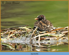 little-grebe-08.jpg