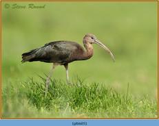 glossy-ibis-05.jpg