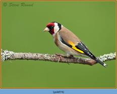 goldfinch-74.jpg