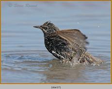 starling-27.jpg