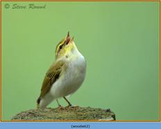 wood-warbler-62.jpg