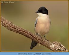 azure-winged-magpie-16.jpg