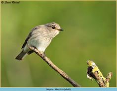 spotted-flycatcher-43.jpg