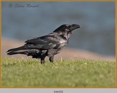 raven-22.jpg