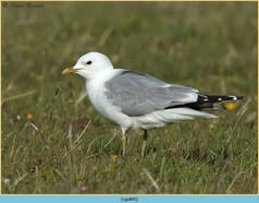 common-gull-45.jpg