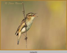 sedge-warbler-46.jpg