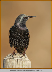 starling-13.jpg