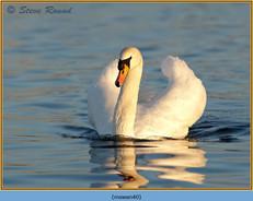 mute-swan-40.jpg