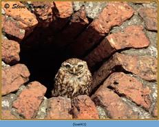 little-owl-43.jpg