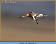 black-tailed-godwit-114.jpg