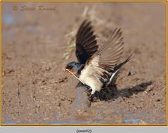 swallow-42.jpg