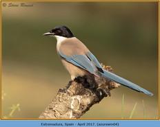 azure-winged-magpie-04.jpg