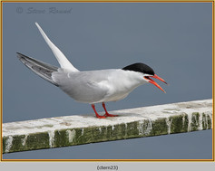 common-tern-23.jpg