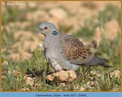 turtle-dove-09.jpg