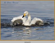 whooper-swan-32.jpg
