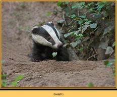 badger-01.jpg