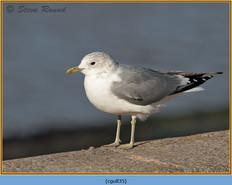 common-gull-35.jpg