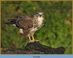 buzzard- 98.jpg