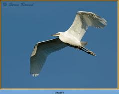 little-egret-86.jpg