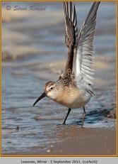 curlew-sandpiper-10.jpg