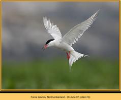 common-tern-10.jpg