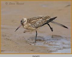 bar-tailed-godwit-43.jpg