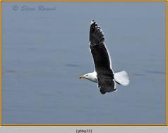 gt-b-backed-gull-22.jpg
