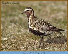 golden-plover-50.jpg