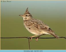 crested-lark-15.jpg