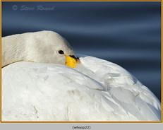 whooper-swan-22.jpg