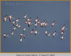 greater-flamingo-06.jpg