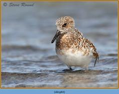 sanderling-84.jpg