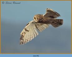 short-eared-owl-78.jpg