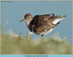 common-sandpiper-27.jpg