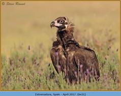 black-vulture-31.jpg