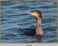 cormorant-24.jpg