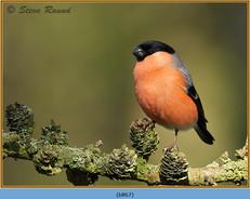 bullfinch-67.jpg