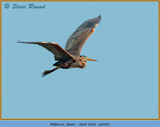 purple-heron-06.jpg