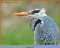 grey-heron-61.jpg