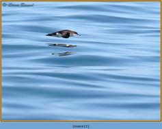 manx-shearwater-11.jpg