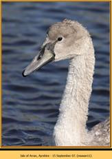 mute-swan-11.jpg