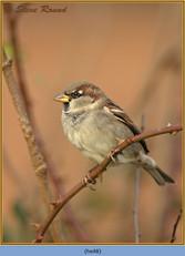 house-sparrow-48.jpg
