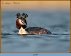 great-crested-grebe-67.jpg