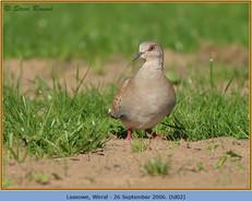 turtle-dove-02.jpg