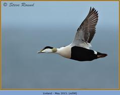 eider-duck- 98.jpg