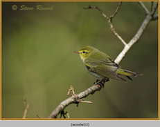 wood-warbler-33.jpg