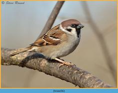 tree-sparrow-56.jpg