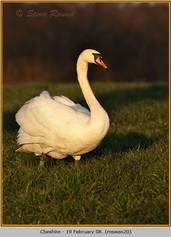 mute-swan-20.jpg