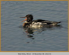 red-breasted-merganser-13.jpg