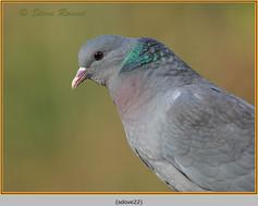stock-dove-22.jpg
